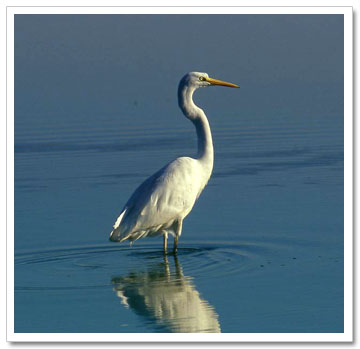 White crane bird - photo#28